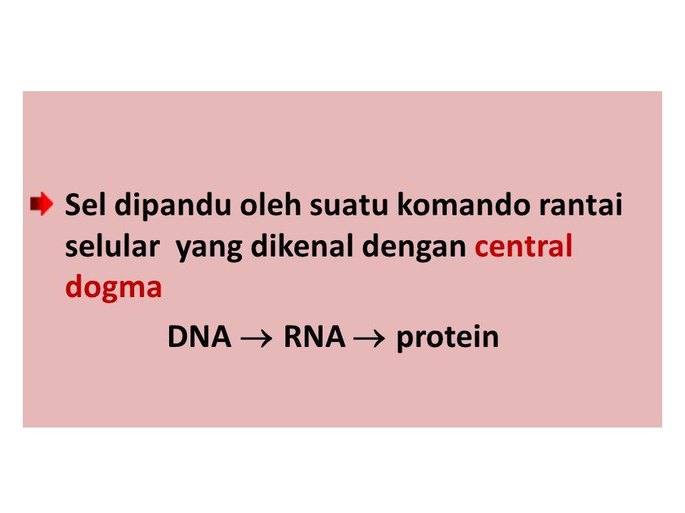 Sel dipandu oleh suatu komando rantai selular yang dikenal dengan central dogma DNA  RNA  protein