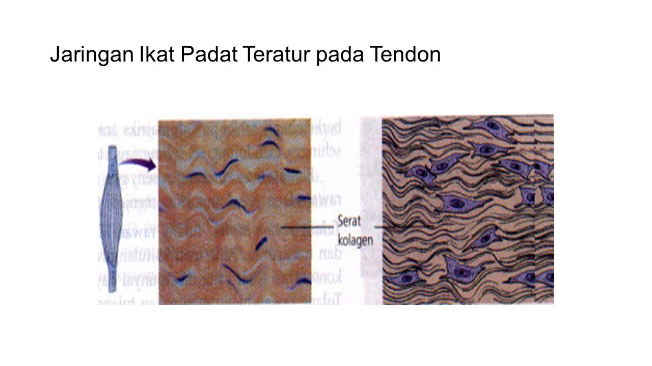 Jaringan Ikat Padat Teratur pada Tendon