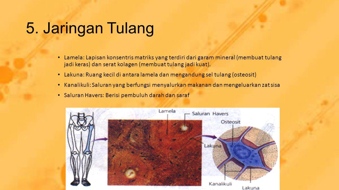 5. Jaringan Tulang Lamela: Lapisan konsentris matriks yang terdiri dari garam mineral (membuat tulang jadi keras) dan serat kolagen (membuat tulang ja