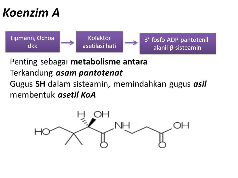 Koenzim A Lipmann, Ochoa dkk Kofaktor asetilasi hati Penting sebagai metabolisme antara Terkandung asam pantotenat Gugus SH dalam sisteamin, memindahk