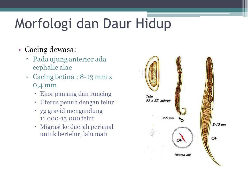 Morfologi dan Daur Hidup Cacing dewasa: ▫Pada ujung anterior ada cephalic alae ▫Cacing betina : 8-13 mm x 0,4 mm  Ekor panjang dan runcing  Uterus p