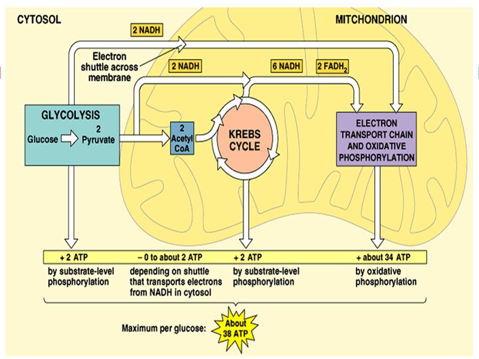 Direct kalorimetri Energi yang berasal dari makanan dapat diukur dengan cara langsung (direct calorimetry) melalui oksidasi bahan makanan di dalam suatu bomb calorimeter.