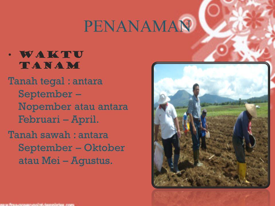 PENANAMAN Waktu Tanam Tanah tegal : antara September – Nopember atau antara Februari – April. Tanah sawah : antara September – Oktober atau Mei – Agus
