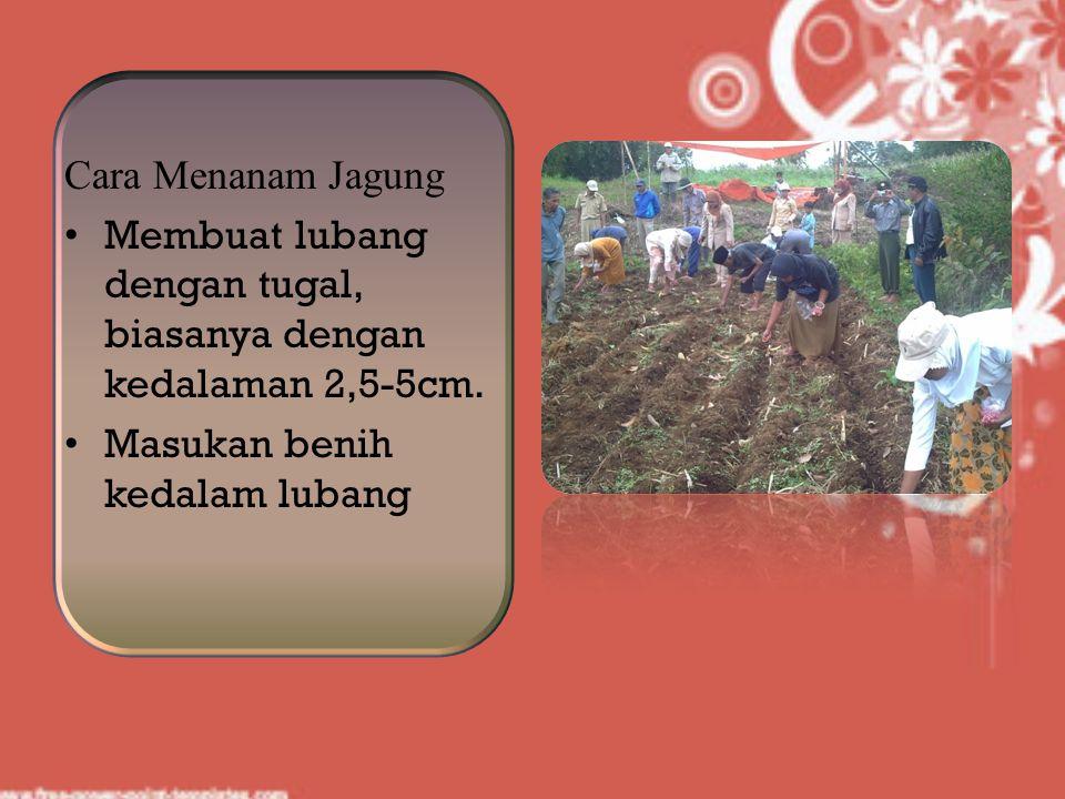 Cara Menanam Jagung Membuat lubang dengan tugal, biasanya dengan kedalaman 2,5-5cm. Masukan benih kedalam lubang