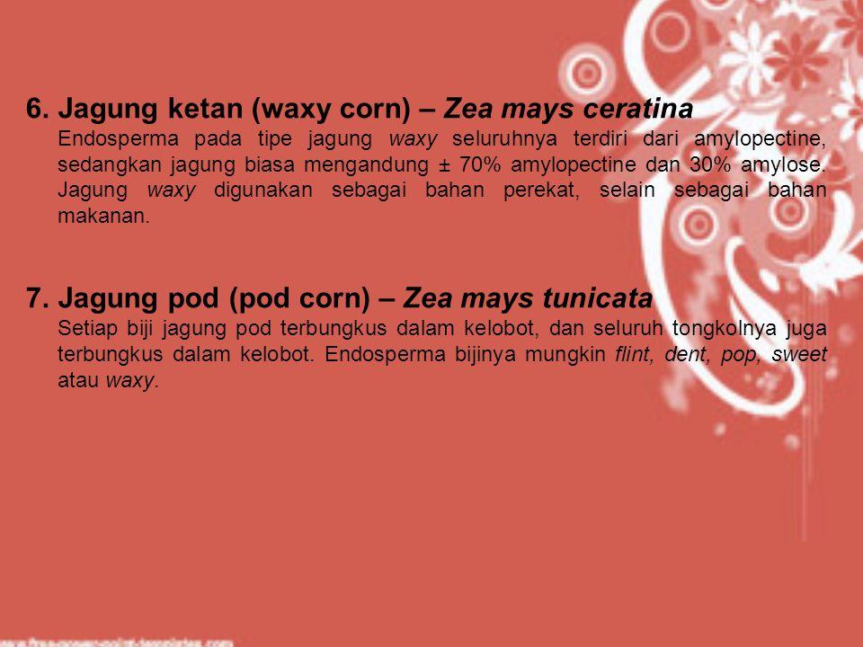6.Jagung ketan (waxy corn) – Zea mays ceratina Endosperma pada tipe jagung waxy seluruhnya terdiri dari amylopectine, sedangkan jagung biasa mengandun