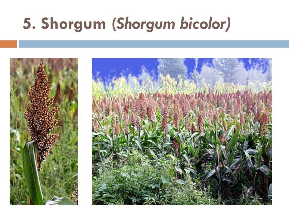 5. Shorgum (Shorgum bicolor)