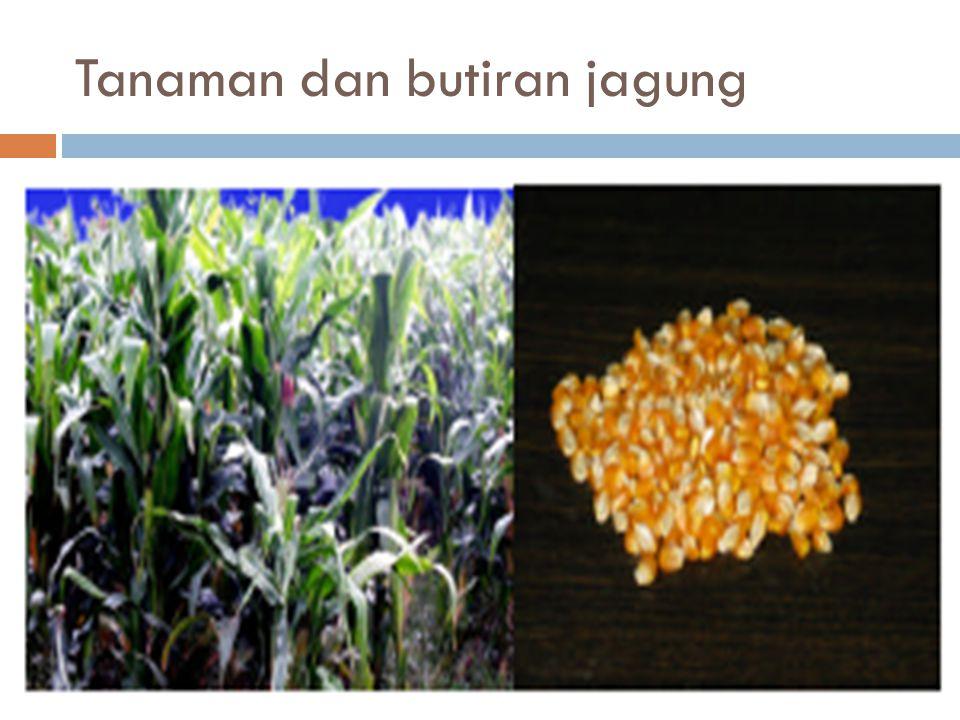 Jagung merupakan butiran yang mempunyai total nutrien tercerna (TDN) dan net energi (NE) yang tinggi.