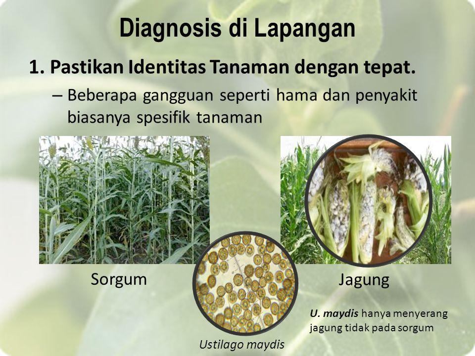 Diagnosis di Lapangan 1. Pastikan Identitas Tanaman dengan tepat. – Beberapa gangguan seperti hama dan penyakit biasanya spesifik tanaman Sorgum Jagun