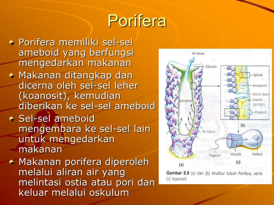 Porifera Porifera memiliki sel-sel ameboid yang berfungsi mengedarkan makanan Makanan ditangkap dan dicerna oleh sel-sel leher (koanosit), kemudian diberikan ke sel-sel ameboid Sel-sel ameboid mengembara ke sel-sel lain untuk mengedarkan makanan Makanan porifera diperoleh melalui aliran air yang melintasi ostia atau pori dan keluar melalui oskulum