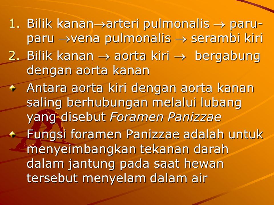 1.Bilik kananarteri pulmonalis  paru- paru vena pulmonalis  serambi kiri 2.Bilik kanan  aorta kiri  bergabung dengan aorta kanan Antara aorta kiri dengan aorta kanan saling berhubungan melalui lubang yang disebut Foramen Panizzae Fungsi foramen Panizzae adalah untuk menyeimbangkan tekanan darah dalam jantung pada saat hewan tersebut menyelam dalam air