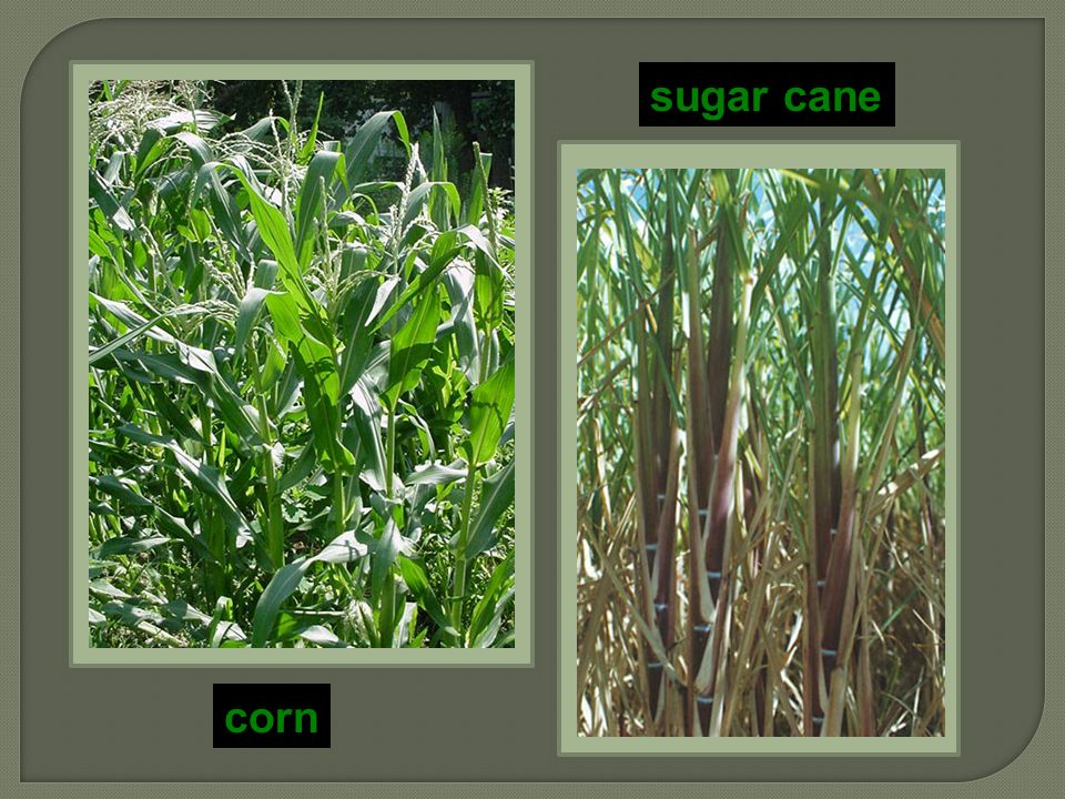 C4 plants A better way to capture CO 2 1st step before Calvin cycle, fix carbon with enzyme PEP carboxylase  store as 4C compound adaptation to hot, dry climates  have to close stomates a lot  different leaf anatomy sugar cane, corn, other grasses…