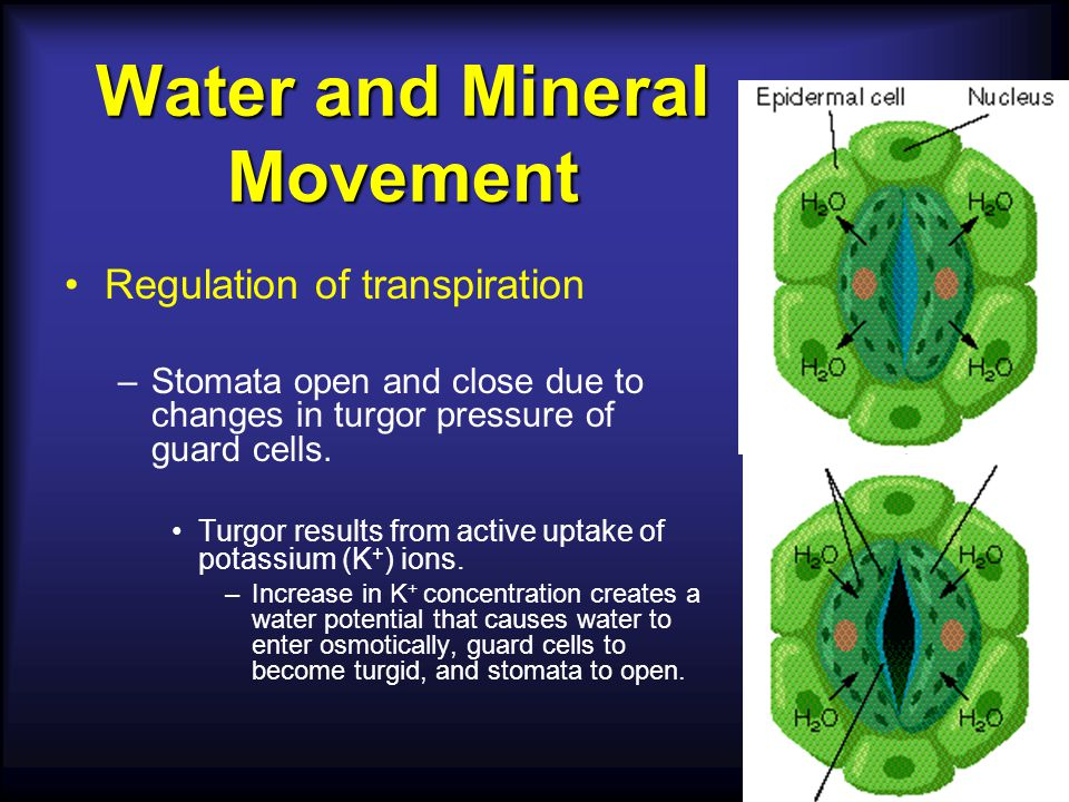 Thin outer wall The guard cells control the opening and closing of the stomata Guard cells flaccid Stoma closed Stoma open Guard cells turgid Thick inner wall