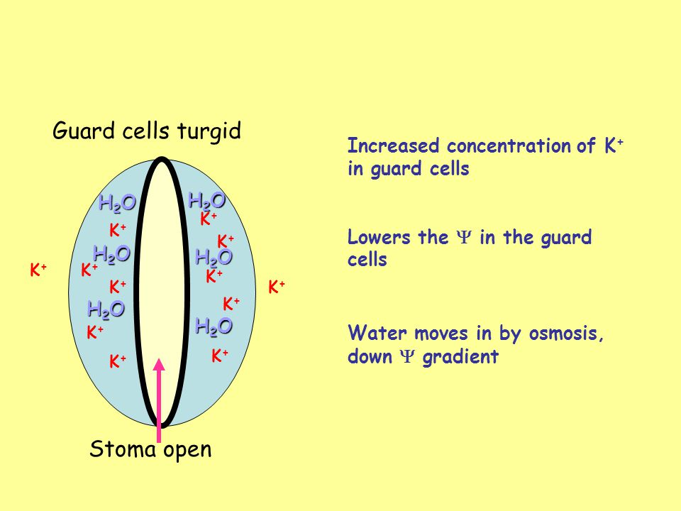 Some other facts about the stomata Open in the day and closed at night - need carbon dioxide in the daylight for photosynthesis When water is scarce, plant wilts and guard cells become flacid Abscisic acid - plant hormone that causes K + to pass out of cells and guard cells become flacid High levels of CO 2 cause guard cells to become flacid Leaves lost when water is scarce