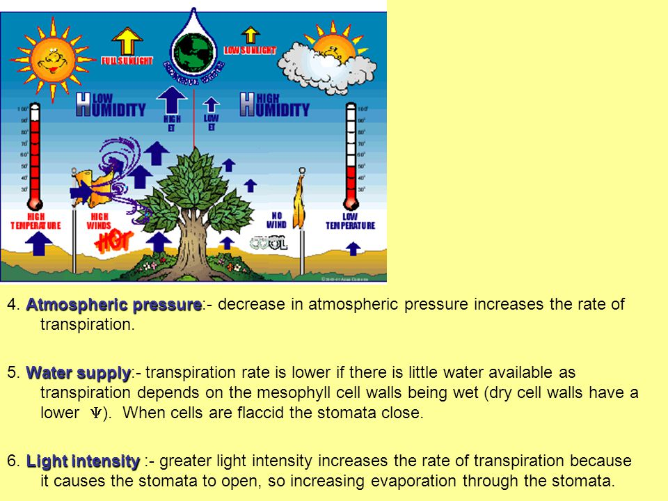 Intrinsic Factors Affecting the Rate of Transpiration.