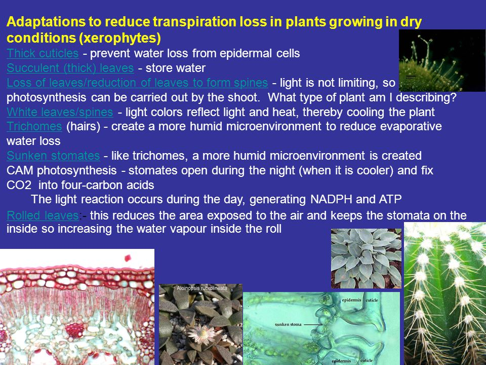 Adaptations to reduce transpiration loss in plants growing in dry conditions (xerophytes) Thick cuticlesThick cuticles - prevent water loss from epide