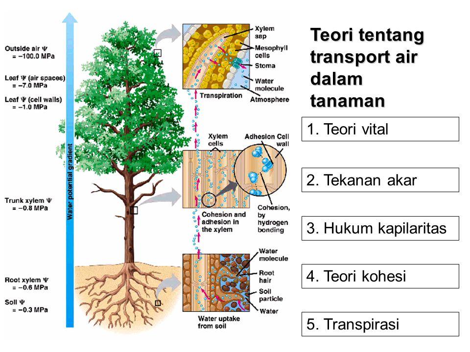 Teori tentang transport air dalam tanaman 1. Teori vital 2. Tekanan akar 3. Hukum kapilaritas 4. Teori kohesi 5. Transpirasi