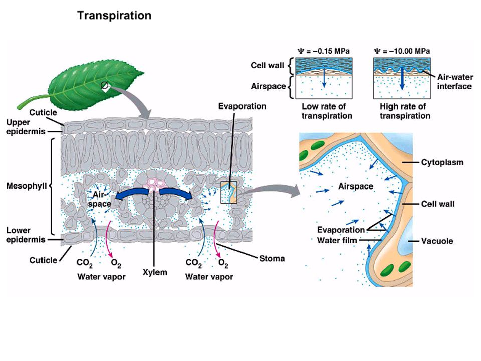 Transpiration Transpiration is the loss of water from a plant by evaporationTranspiration is the loss of water from a plant by evaporation Water can only evaporate from the plant if the water potential is lower in theair surrounding the plantWater can only evaporate from the plant if the water potential is lower in the air surrounding the plant Most transpiration occurs via the leavesMost transpiration occurs via the leaves Most of this transpiration is via the stomata.Most of this transpiration is via the stomata.