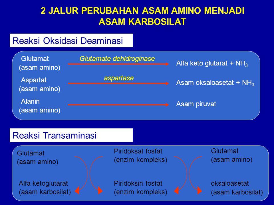 2 JALUR PERUBAHAN ASAM AMINO MENJADI ASAM KARBOSILAT Reaksi Oksidasi Deaminasi Glutamat (asam amino) Alfa keto glutarat + NH 3 Glutamate dehidroginase