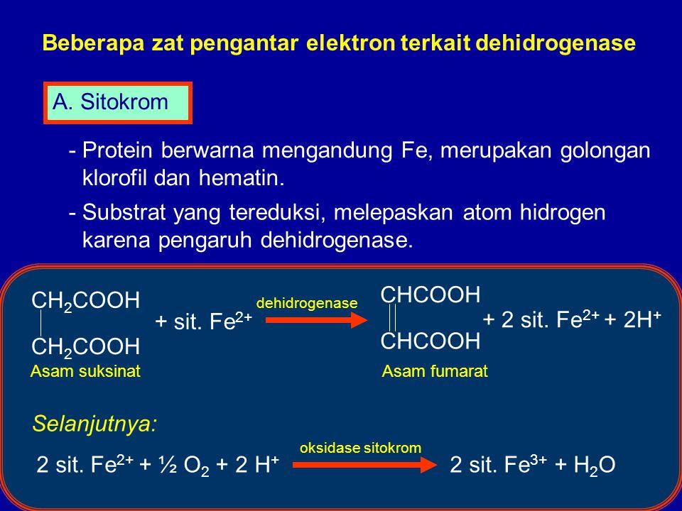 Beberapa zat pengantar elektron terkait dehidrogenase A. Sitokrom - Protein berwarna mengandung Fe, merupakan golongan klorofil dan hematin. - Substra