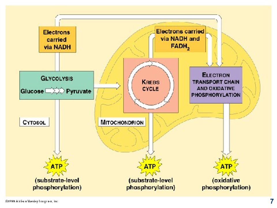 Bagian tanamanQRBagian tanamanQR Daun Begonia Daun Jarak Daun Krisan Daun Jagung Daun Anggur 1,11 1,03 1,02 1,07 1,01 Daun Kapri Daun Peer Daun Mawar Daun Tembakau Daun Gandum 1,07 1,10 1,02 1,03 Contoh nilai QR beberapa tanaman yang ditentukan berdasarkan respirasi daun-daunnya RQ untuk glukosa 1,0 RQ untuk tripalmitat 0,7 RQ untuk protein 0,7 Bisa terjadi penyimpangan terhadap nilai RQ karena respirasi yang tidak sempurna 18