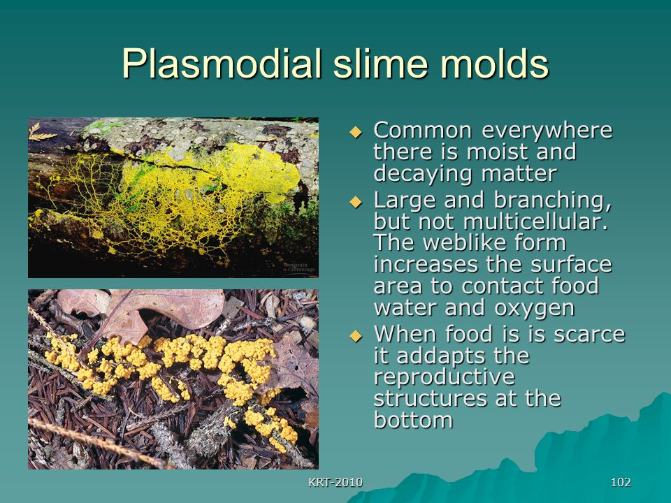 KRT-2010 102 Plasmodial slime molds  Common everywhere there is moist and decaying matter  Large and branching, but not multicellular. The weblike f