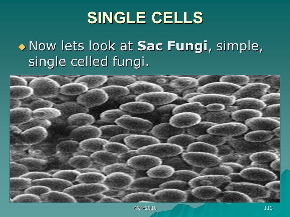 KRT-2010 113 SINGLE CELLS  Now lets look at Sac Fungi, simple, single celled fungi.