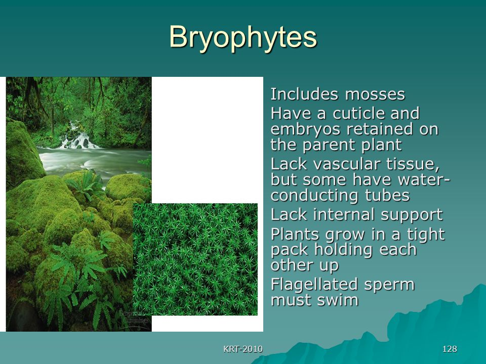 KRT-2010 128 Bryophytes  Includes mosses  Have a cuticle and embryos retained on the parent plant  Lack vascular tissue, but some have water- condu