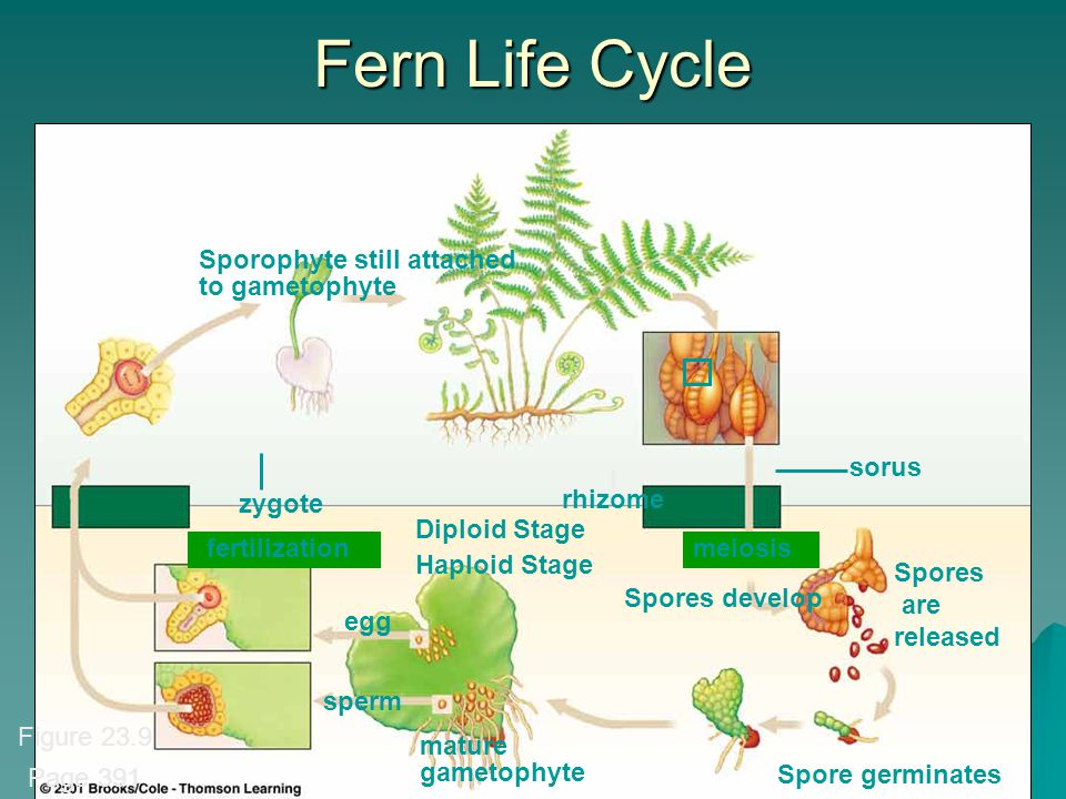 KRT-2010 146 Fern Life Cycle Spores are released Sporophyte still attached to gametophyte zygote fertilization Diploid Stage Haploid Stage egg sperm mature gametophyte Spores develop meiosis Spore germinates rhizome sorus Figure 23.9 Page 391