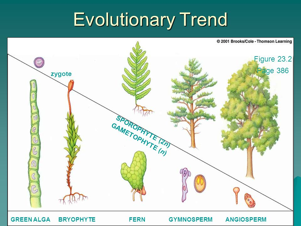 KRT-2010 158 Evolutionary Trend zygote SPOROPHYTE (2n) GAMETOPHYTE (n) GREEN ALGABRYOPHYTEFERNGYMNOSPERMANGIOSPERM Figure 23.2 Page 386