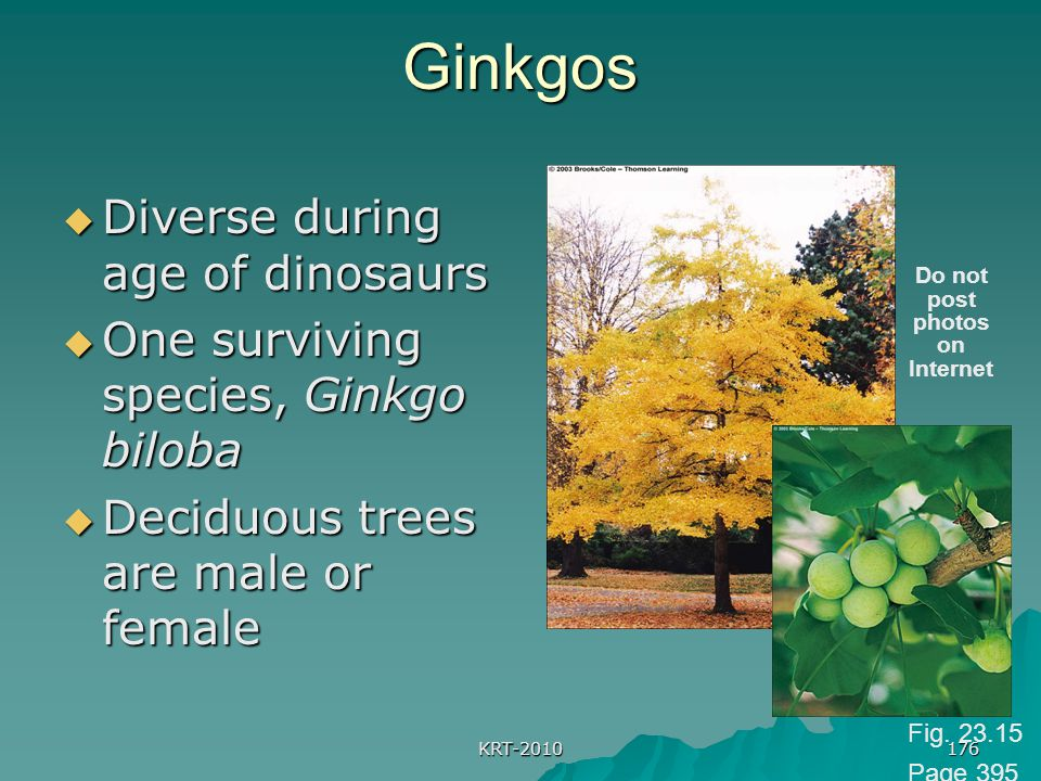 KRT-2010 176Ginkgos  Diverse during age of dinosaurs  One surviving species, Ginkgo biloba  Deciduous trees are male or female Do not post photos o