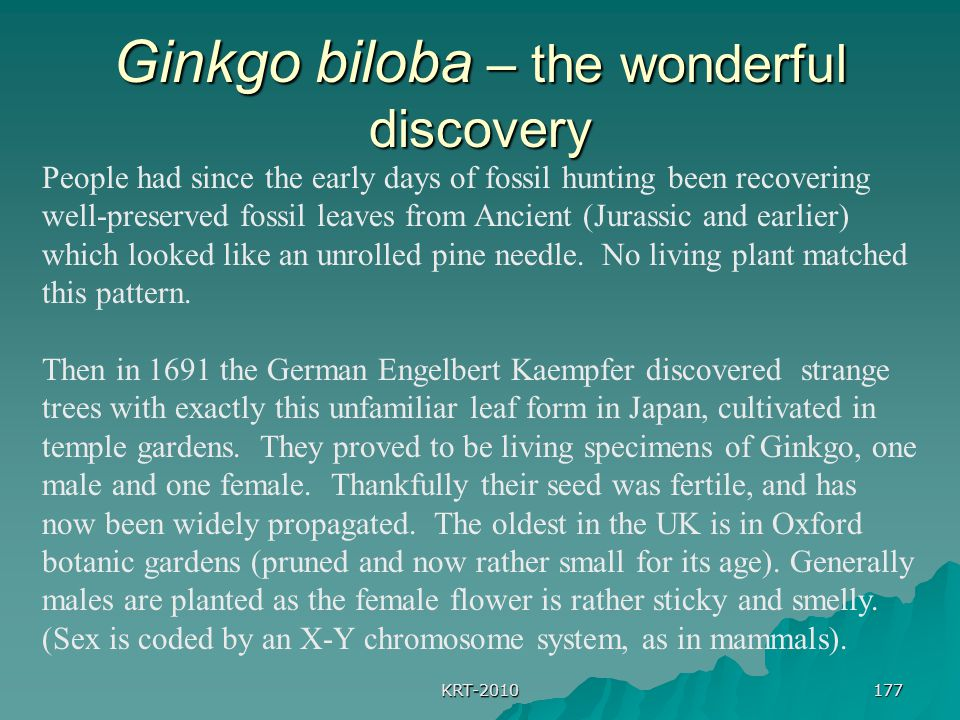 KRT-2010 177 Ginkgo biloba – the wonderful discovery People had since the early days of fossil hunting been recovering well-preserved fossil leaves from Ancient (Jurassic and earlier) which looked like an unrolled pine needle.