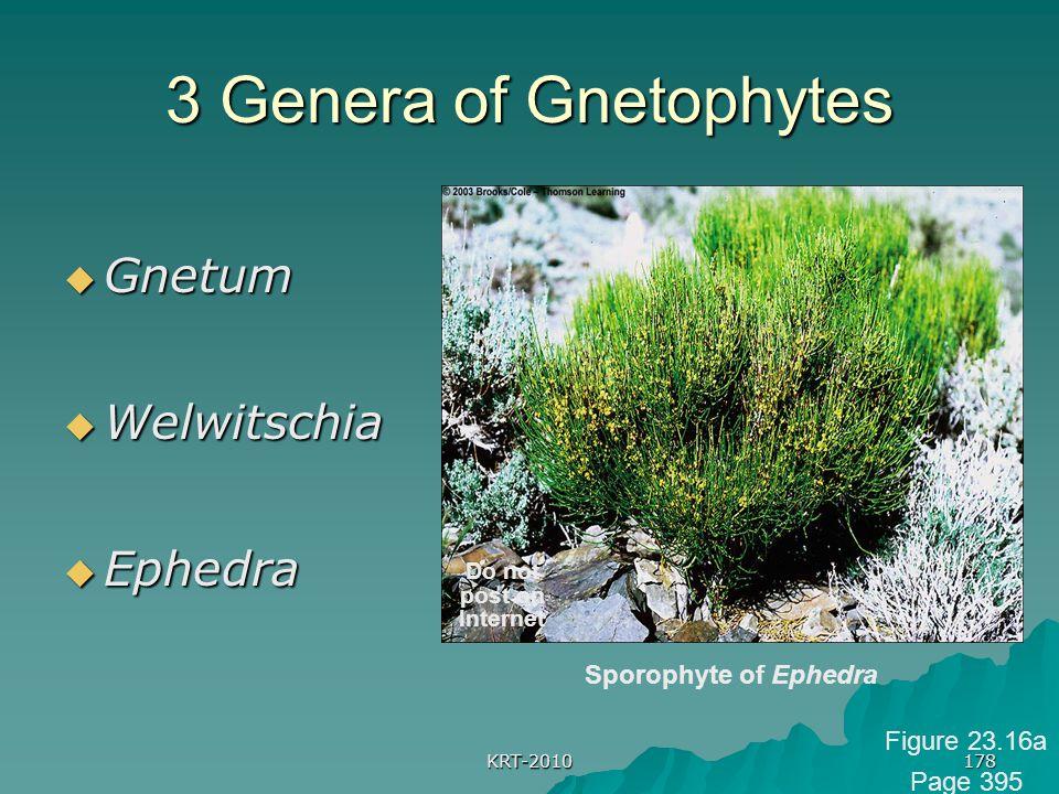 KRT-2010 178 3 Genera of Gnetophytes  Gnetum  Welwitschia  Ephedra Sporophyte of Ephedra Do not post on Internet Figure 23.16a Page 395