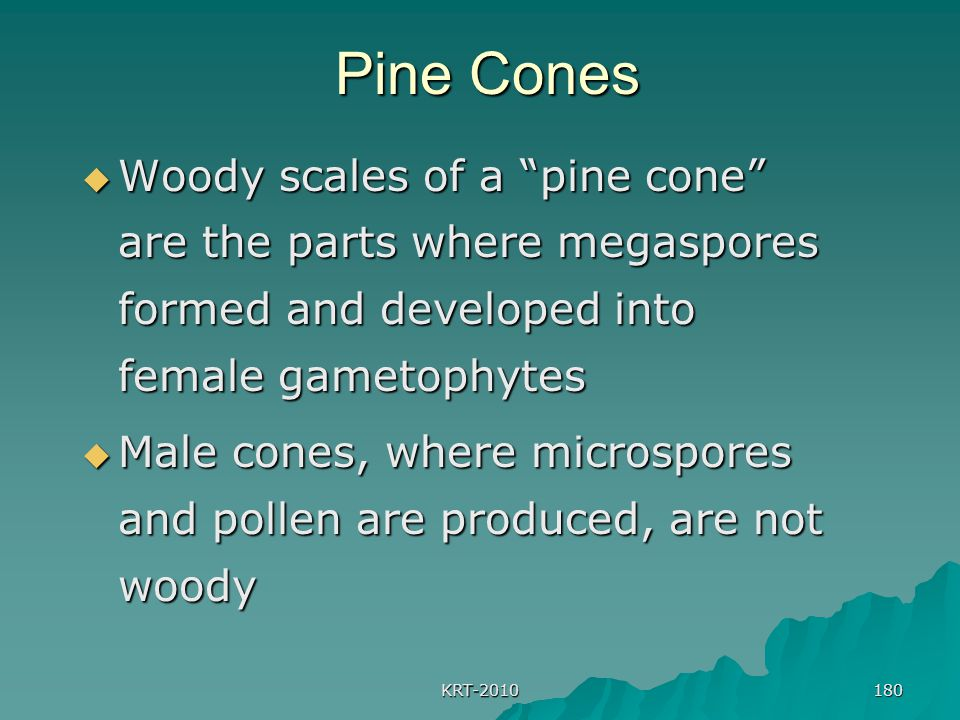 KRT-2010 180 Pine Cones Pine Cones  Woody scales of a pine cone are the parts where megaspores formed and developed into female gametophytes  Male cones, where microspores and pollen are produced, are not woody