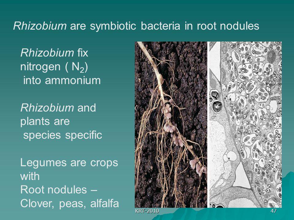 KRT-2010 47 Rhizobium are symbiotic bacteria in root nodules Rhizobium fix nitrogen ( N 2 ) into ammonium Rhizobium and plants are species specific Legumes are crops with Root nodules – Clover, peas, alfalfa