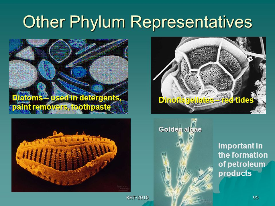 KRT-2010 95 Other Phylum Representatives Diatoms – used in detergents, paint removers, toothpaste Dinoflagellates – red tides Important in the formation of petroleum products Golden algae
