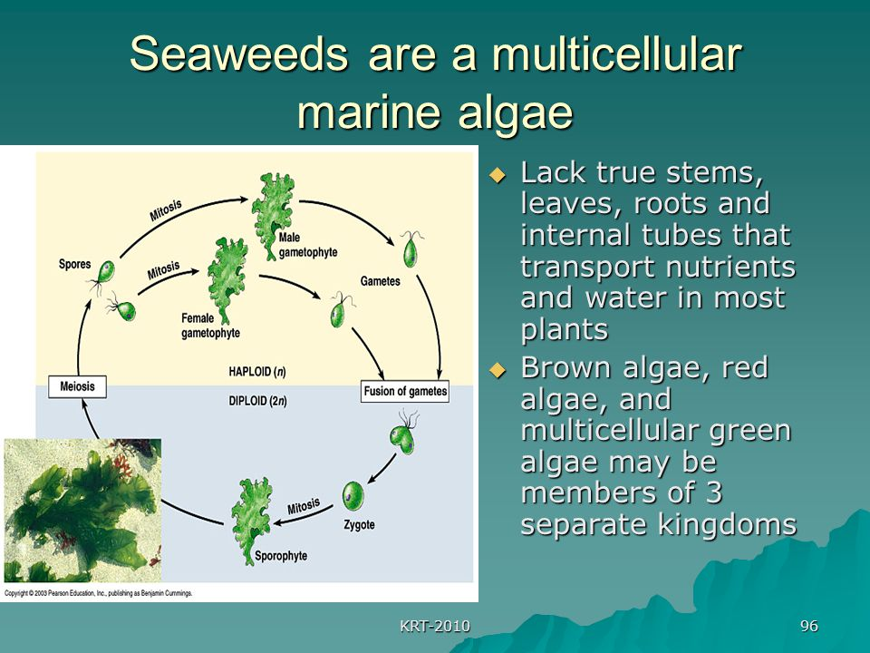 KRT-2010 96 Seaweeds are a multicellular marine algae  Lack true stems, leaves, roots and internal tubes that transport nutrients and water in most p