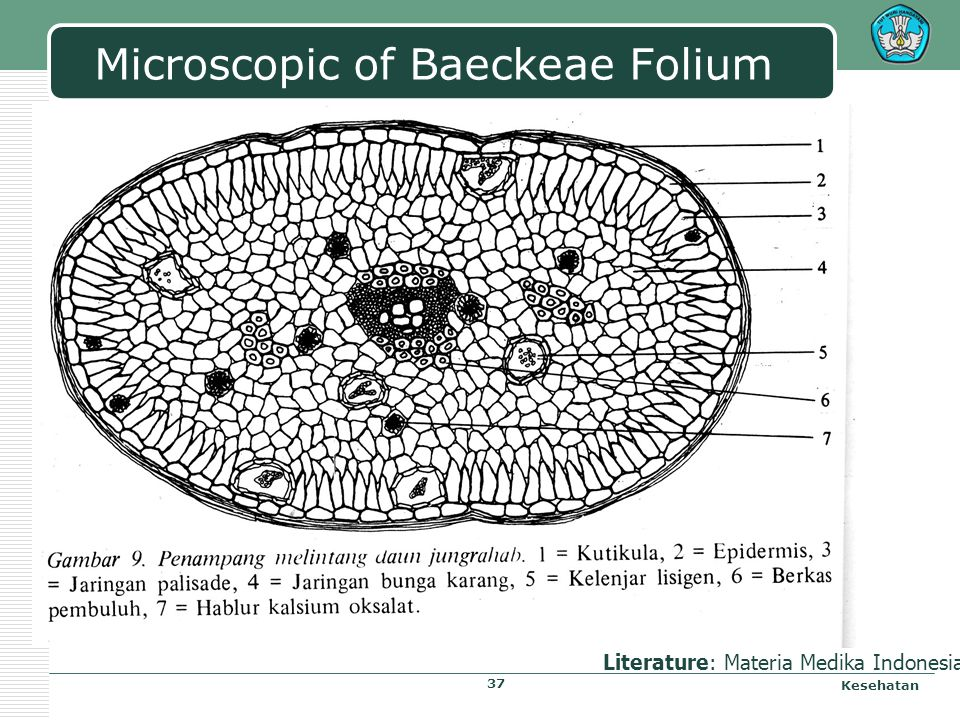 Microscopic of Baeckeae Folium Kesehatan Literature: Materia Medika Indonesia 37