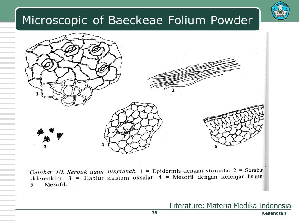 Microscopic of Baeckeae Folium Powder Kesehatan Literature: Materia Medika Indonesia 38