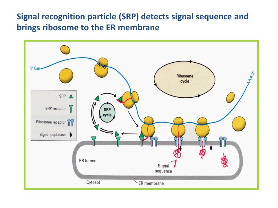 Signal recognition particle (SRP) detects signal sequence and brings ribosome to the ER membrane