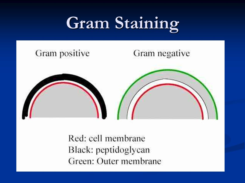 Bakteri berdasarkan Lap.Peptidoglikan pada Dinding Sel Bakteri gram positif Bakteri gram positif (dinding sel dengan lap.peptidoglikan yang tebal, ber