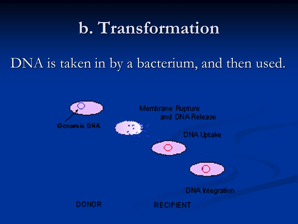 [2] Sexual Reproduction (exchanging DNA) a. Conjugation two bacteria join together and exchange portions of DNA. Ex: E.colli two bacteria join togethe