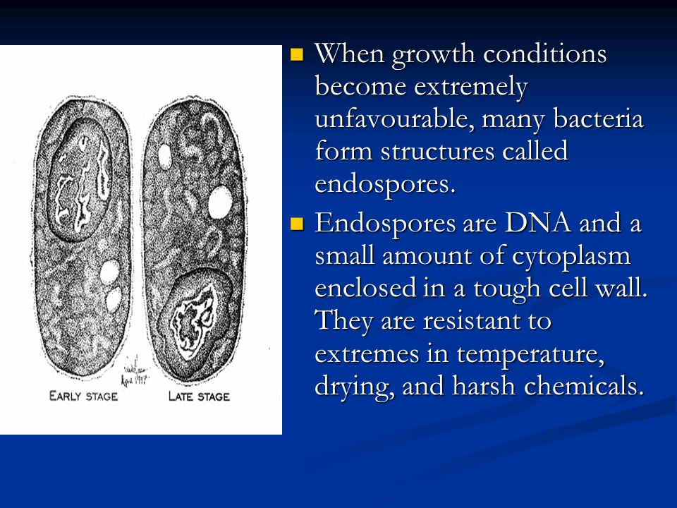Endospores When environmental factors become harsh, bacteria will either die or form endospores. When environmental factors become harsh, bacteria wil