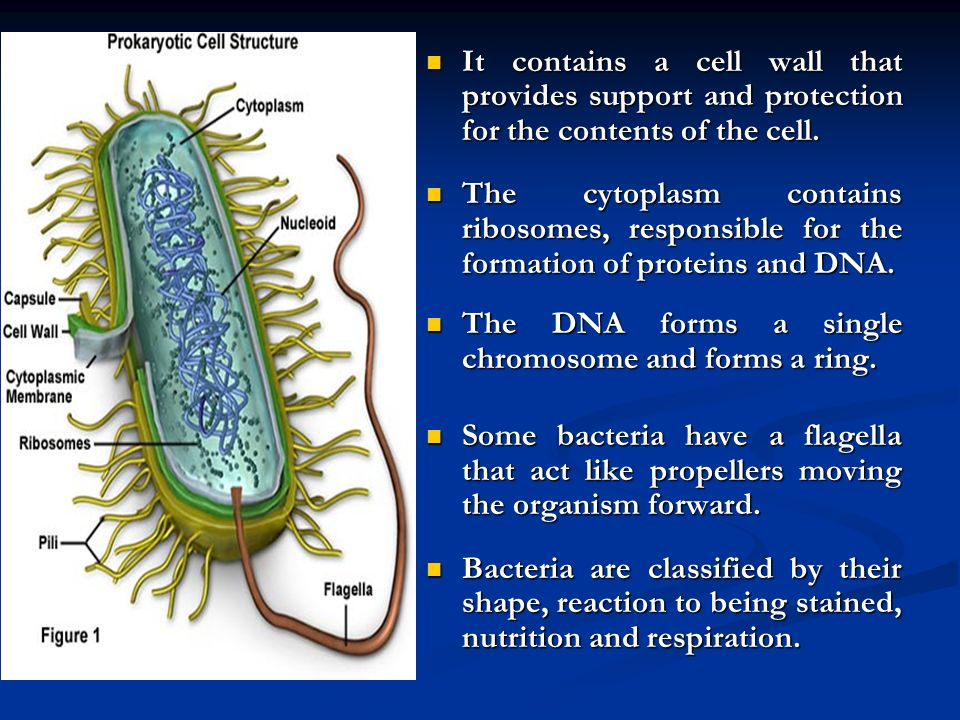 It contains a cell wall that provides support and protection for the contents of the cell.