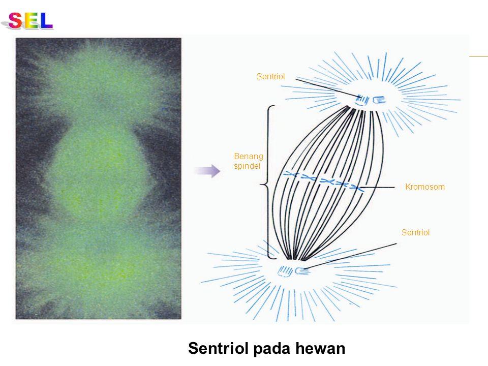 Sentriol Kromosom Sentriol Benang spindel Sentriol pada hewan