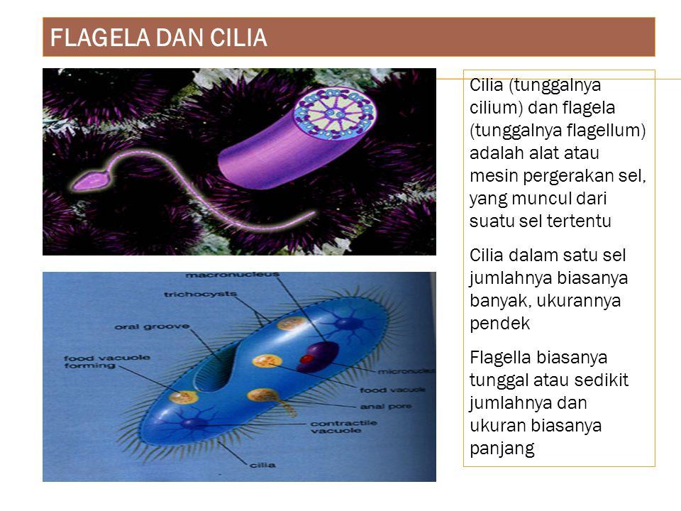 FLAGELA DAN CILIA Cilia (tunggalnya cilium) dan flagela (tunggalnya flagellum) adalah alat atau mesin pergerakan sel, yang muncul dari suatu sel terte