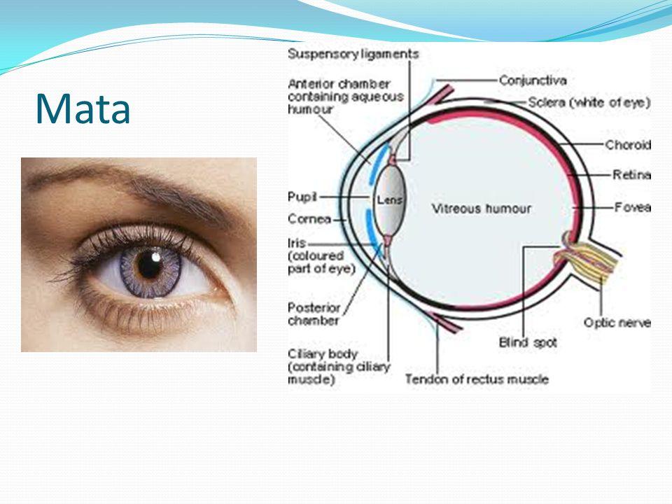 Rabun jauh Lensa mata kurang pipih Bayangan berada di depan retina Lensa kacamata cekung Titik jauh yang masih bisa dilihat jelas = punctun remotum (PR)