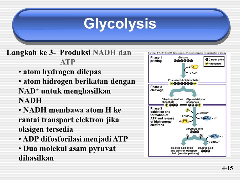 Glycolysis Langkah ke 3- Produksi NADH dan ATP atom hydrogen dilepas atom hidrogen berikatan dengan NAD + untuk menghasilkan NADH NADH membawa atom H ke rantai transport elektron jika oksigen tersedia ADP difosforilasi menjadi ATP Dua molekul asam pyruvat dihasilkan 4-15