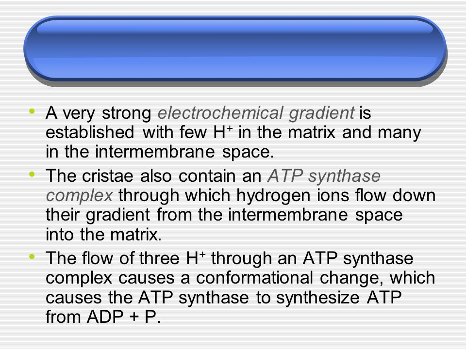 A very strong electrochemical gradient is established with few H + in the matrix and many in the intermembrane space. The cristae also contain an ATP