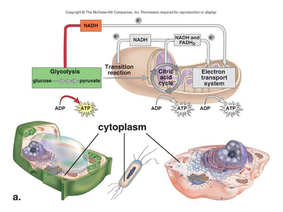 Reaksi Anaerob Jika oksigen tidak tersedia - Rantai transport elektron tidak dapat menerima NADH Asam piruvat dikonversi menjadi asam laktat glikolisis terhamabat Produksi ATP menurun 4-16