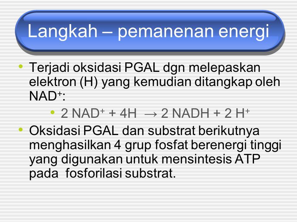 Langkah – pemanenan energi Terjadi oksidasi PGAL dgn melepaskan elektron (H) yang kemudian ditangkap oleh NAD + : 2 NAD + + 4H → 2 NADH + 2 H + Oksidasi PGAL dan substrat berikutnya menghasilkan 4 grup fosfat berenergi tinggi yang digunakan untuk mensintesis ATP pada fosforilasi substrat.